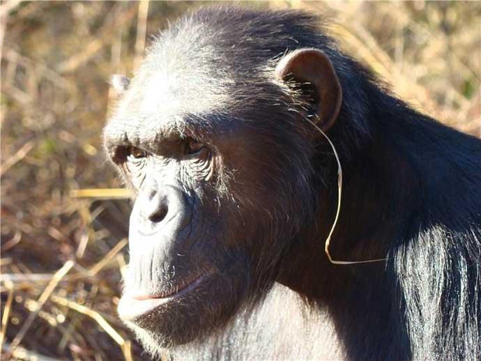 chimp-julie